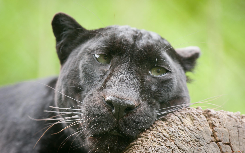 картинки черная пантера прикольные появлением